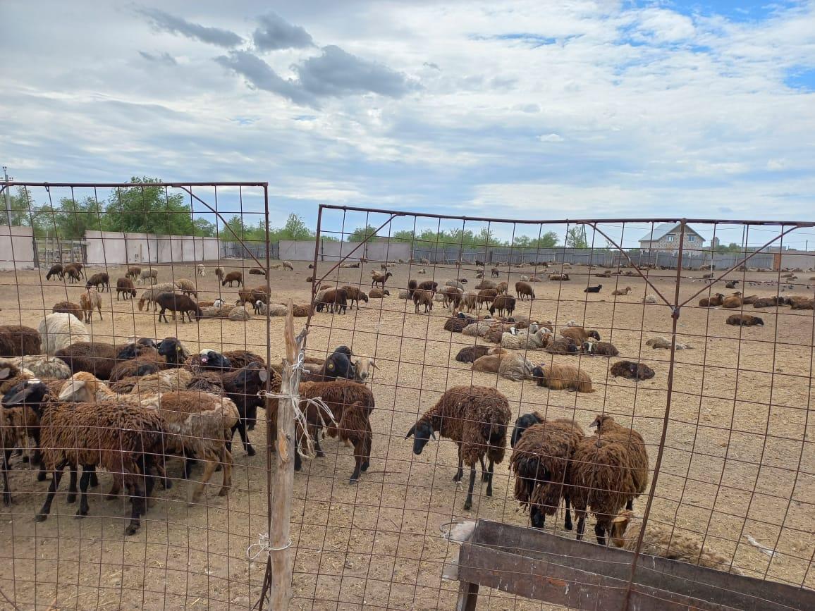 В Акбулаке задержали две фуры с овцами без документов